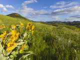 Arrowleaf Balsamroot Wildflowers in the Bears Paw Mountains Near Havre, Montana, Usa Stampa fotografica di Chuck Haney