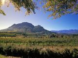 Constantia Wineries, Cape Town, South Africa Photographic Print by Michele Westmorland