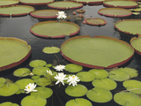 Water Lily and Lily Pad Pond, Longwood Gardens, Pennsylvania, Usa Photographic Print by Adam Jones