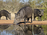 Herd Drinking at Ranch Pond, Pecari Tajacu, Collared Peccary, Starr Co., Texas, Usa Photographic Print by Larry Ditto