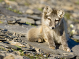 Arctic Fox Kit Sitting on Rocky Hillside Along Diskobukta Bay, Edgeoya Island, Svalbard, Norway Photographic Print by Paul Souders
