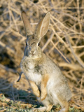 Desert Cottontail at Attention, Henderson, Nevada, Usa Photographic Print by Maresa Pryor