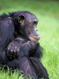 Alpha-Male Chimpanzee, Gombe National Park, Tanzania Photographic Print by Kristin Mosher