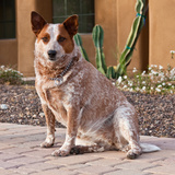Australian Cattle Dog Photographic Print by Zandria Muench Beraldo