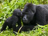 Infant Mountain Gorilla Leans in to Kiss Silverback, Bwindi Impenetrable National Park, Uganda Fotografisk tryk af Paul Souders