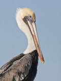 Brown Pelican (Pelecanus Occidentalis) Perched at Goose Island State Park, Aransas Co., Texas, Usa Photographic Print by Larry Ditto