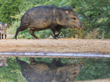 Adult and Baby, Pecari Tajacu, Collared Peccary, Starr Co., Texas, Usa Photographic Print by Larry Ditto