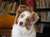 Portrait of an Australian Shepherd in the Library Photographic Print by Zandria Muench Beraldo