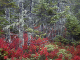 Blueberry Bushes and Pines in the Fall at Wonderland in Acadia National Park, Maine, Usa Photographic Print by Joanne Wells