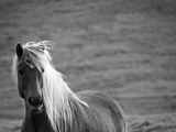 Islandic Horse with Flowing Light Colored Mane, Iceland Photographic Print by Joan Loeken