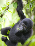 Baby Mountain Gorilla Hangs from Vine in Rainforest, Bwindi Impenetrable National Park, Uganda Fotografisk tryk af Paul Souders
