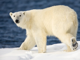Polar Bear Walking on Snow-Covered Iceberg, Spitsbergen Island, Svalbard, Norway Photographic Print by Paul Souders