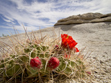 Claret Cup or Mojave Mound Cactus in Bloom, Mojave National Preserve, California, Usa Photographic Print by Rob Sheppard