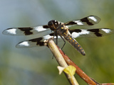 Eight-Spotted Skimmer (Libellula Forensis) Male, Freeway Ponds County Park, Albany, Oregon, Usa Photographic Print by Rick A. Brown
