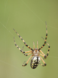 Arigope Spider Spinning Web, Corkscrew Sanctuary, Florida, Usa Photographic Print by Daniel Schreiber