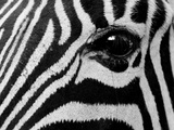 Common Zebra, Kapama Game Reserve, South Africa Photographic Print by Sergio Pitamitz