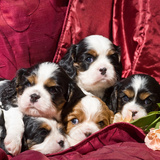 Five Cavalier King Charles Spaniel Puppies in a Pile on Red Fabric Background Photographic Print by Zandria Muench Beraldo