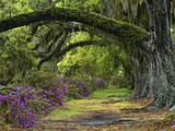 Coast Live Oaks and Azaleas Blossom, Magnolia Plantation, Charleston, South Carolina, Usa Photographic Print by Adam Jones