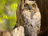 Great Horned Owl at Nest Site in Defiance, Ohio, Usa Photographic Print by Chuck Haney