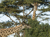 Giraffes Feeding, Masai Mara, Kenya, Africa Photographic Print by Daniel Schreiber