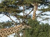 Giraffes Feeding, Masai Mara, Kenya, Africa Photographic Print by Daniel Schreiber