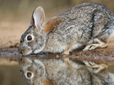Eastern Cottontail (Sylvilagus Floridanus) Rabbit Drinking, Starr Co., Texas, Usa Photographic Print by Larry Ditto
