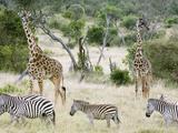 Zebras and Giraffes, Masai Mara, Kenya, Africa Photographic Print by Daniel Schreiber