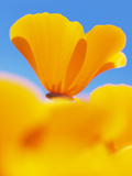 California Poppies, Eschscholzia Californica Californica, San Simeon State Park, California, Usa Photographic Print by Paul Colangelo
