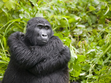 Mountain Gorilla Resting in Rainforest, Bwindi Impenetrable National Park, Uganda Photographic Print by Paul Souders