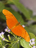 Julia Heliconian (Dryas Julia) Butterfly Feeding at Mist Flowers, Mcallen, Hidalgo Co., Texas, Usa Photographic Print by Larry Ditto