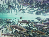 Spawning Chum and Red Salmon Near Kuliak Bay in Late Summer, Katmai National Park, Alaska, Usa Photographic Print by Paul Souders