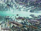 Spawning Chum and Red Salmon Near Kuliak Bay in Late Summer, Katmai National Park, Alaska, Usa Photographic Print by Paul Souders