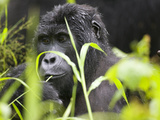 Adult Mountain Gorilla in Rainforest, Bwindi Impenetrable National Park, Uganda Photographic Print by Paul Souders