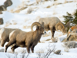 Big Horn Sheep Graze in the Gros Ventre Range, Jackson Hole, Wyoming, Usa Photographic Print by Daniel Schreiber