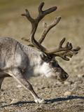 Reindeer (Rangifer Tarandus) Grazing on Tundra, Diskobukta Bay, Edgeoya Island, Svalbard, Norway Photographic Print by Paul Souders