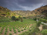 Vineyards in the White Mountains, Crete, Greece Photographic Print by Darrell Gulin