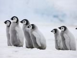 Emperor Penguin (Aptenodytes Forsteri) Chicks on Ice, Snow Hill Island, Antarctica Photographic Print by Keren Su