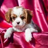 Cavalier King Charles Spaniel Puppy Photographic Print by Zandria Muench Beraldo