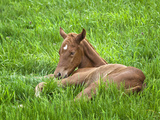 Thoroughbred Foal Lying in Grass, Donamire Horse Farm, Lexington, Kentucky, Usa Photographic Print by Adam Jones