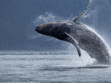 Humpback Whale Breaching, Chatham Strait, Angoon, Tongass National Forest, Alaska, Usa Photographic Print by Paul Souders