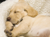 Labrador Retriever Puppy Sleeping in its Bed Photographic Print by Rick A. Brown