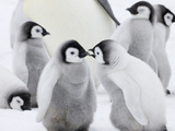 Emperor Penguin (Aptenodytes Forsteri) Chicks on Ice, Snow Hill Island, Antarctica Photographie par Keren Su