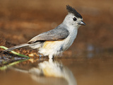 Black-Crested Titmouse (Baeolophus Atricristatus) Bathing, Starr Co., Texas, Usa Photographie par Larry Ditto