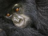 Juvenile Mountain Gorilla of the Umubano Group, Volcanoes National Park, Rwanda Photographic Print by Ralph H. Bendjebar