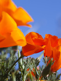 Poppies and Blue Sky  Antelope Valley Near Lancaster  California  Usa