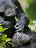 Chimpanzee (Pan Troglodytes) Grooming in Rainforest Clearing, Kibale Forest Reserve, Uganda Photographic Print by Paul Souders
