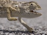 Flap Necked Chameleon (Chamaeleo Dilepis) Walking across Highway, Caprivi Strip, Namibia Photographic Print by Paul Souders