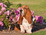 A Basset Hound Sitting Next to a Rose Garden Photographic Print by Zandria Muench Beraldo