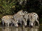 Five Burchell's Zebras Drinking in River, Near Seronera, Serengeti National Park, Tanzania Photographic Print by Alison Jones