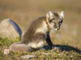 Arctic Fox (Vulpes Lagopus) Resting on Tundra Along Diskobukta, Edgeoya Island, Svalbard, Norway Photographic Print by Paul Souders